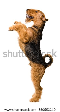 Cute Airedale Terrier Standing on two legs - stock photo