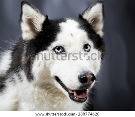 Cute Alaskan Malamute Husky breed dog standing and smiling. - stock photo