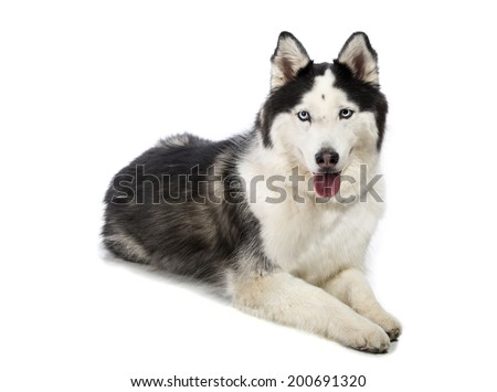 Cute Alaskan Malamute or Husky breed dog laying down and smiling and isolated on white.  - stock photo