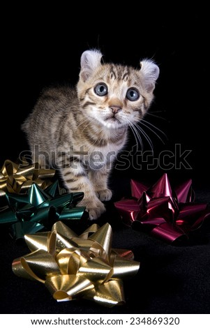 Cute american curl kitten caught playing in Christmas bows and ribbons on black background - stock photo