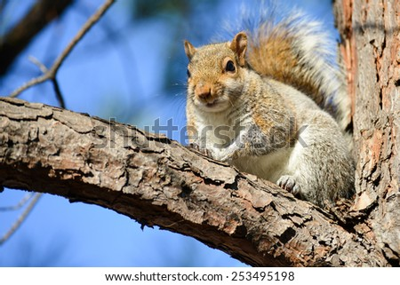 Cute American gray squirrel on tree branch - stock photo