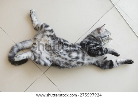 cute American Short Hair cat lay down on the floor - stock photo