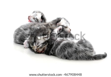 Cute American shorthair cat kitten with copy space
