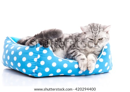 Cute American Shorthair kitten lying in cat bed on white back ground isolated - stock photo