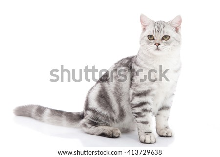 Cute American Shorthair kitten sitting on white background isolated - stock photo