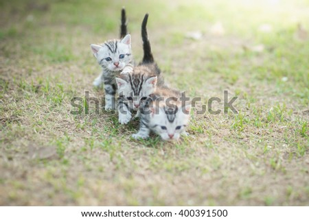 Cute American Shorthair kittens walking on green grass