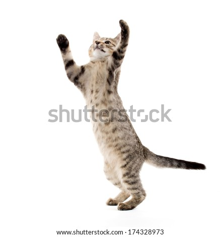 cute American shorthair tabby kitten on white background