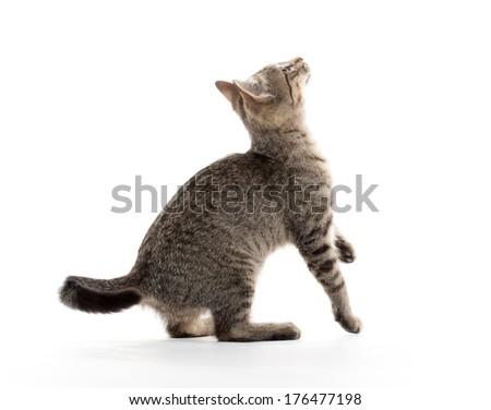 Cat Standing On Back Legs Like A Prairie Dog