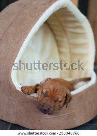 Cute and adorable little Rhodesian Ridgeback whelp sleeping peaceful. The little puppy is one week of age. - stock photo