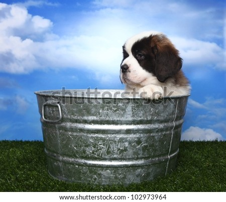 Cute and Adorable Saint Bernard Pup With Copy Space for Text - stock photo