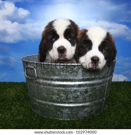 Cute and Adorable Saint Bernard Pups - stock photo