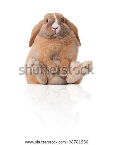 Cute and beautiful rabbit sitting. Isolated on white background, reflection, a lot of copy space. - stock photo