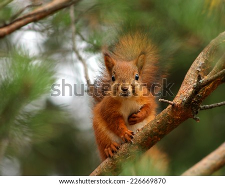 Cute and curious red squirrel in forest pine tree - stock photo