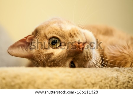 Cute and endearing ginger cat rolling and looking out from the top of the stairs - stock photo