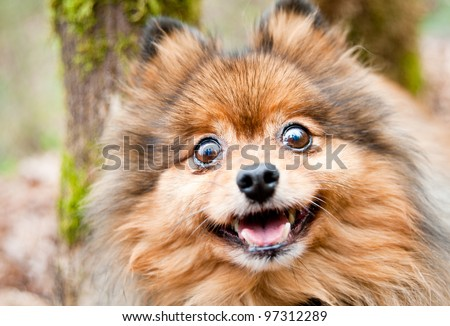Cute and Fluffy Pomeranian Dog Enjoying Walk in Park - stock photo