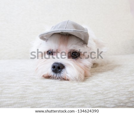 Cute and fluffy young Maltese, wearing cap, resting on sofa. - stock photo