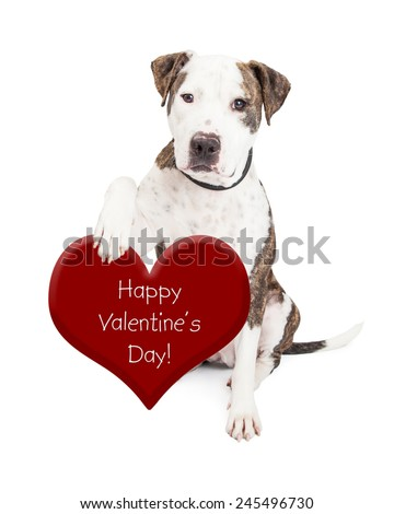 Cute and friendly Pit Bull Dog holding a red heart with the words Happy Valentine's Day - stock photo