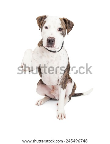 Cute and friendly Pit Bull Dog holding one paw up  - stock photo