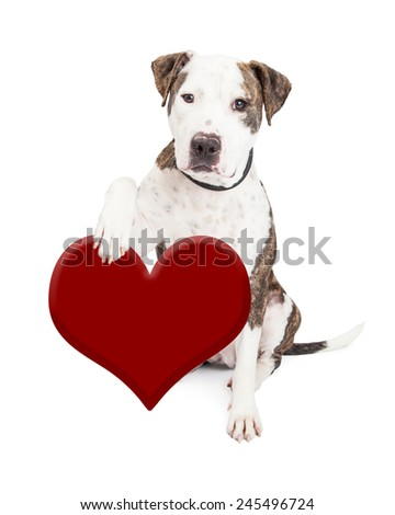 Cute and friendly Pit Bull Dog holding red heart  - stock photo
