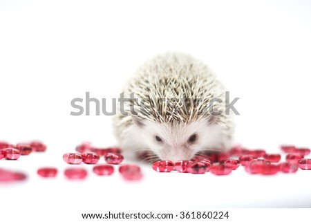 cute and funny african pygmy hedgehog baby color white face brown snowflake pinto