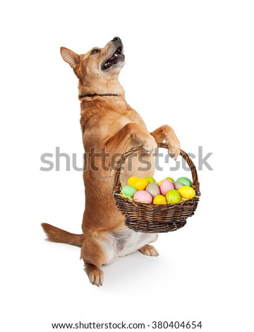 Cute and funny Carolina breed dog sitting up and holding an Easter basket filled with colorful painted eggs - stock photo