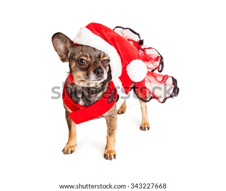 Cute and funny Chihuahua mixed breed dog wearing Christmas Santa outfit with angry expression