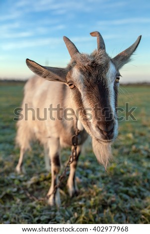 Cute and funny goat portrait close-up - stock photo