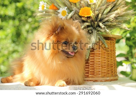 Cute and funny pomeranian spitz smiling on nature background - stock photo