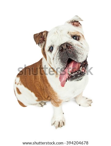 Cute and funny purebred English Bulldog breed dog with tongue hanging out of side of mouth.
