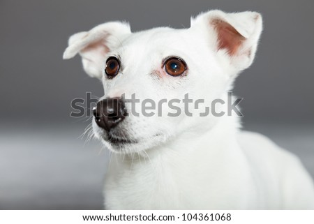 Cute and funny white jack russell dog isolated on grey background. Studio shot.
