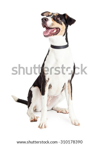 Cute and happy young crossbreed dog with mouth open sitting and looking off to the side