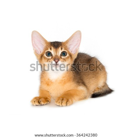 cute and lovely purebred abyssinian kitten posing, isolated on the white background