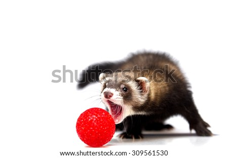 cute and playful young ferrets or weasel hunts and plays with the ball - stock photo