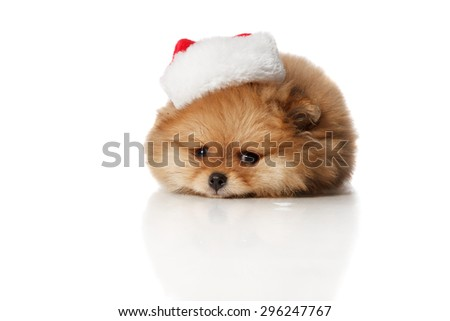 Cute and sad Pomeranian Spitz  two months old puppie dressed in Santa hat lying . Studio shoot isolated.