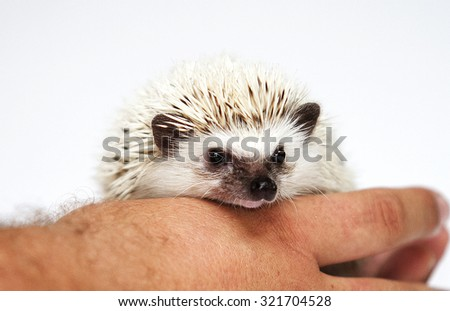 cute and sweet african pygmy hedgehog baby color black high snowflake in man hand - stock photo