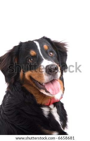 Cute and young bernese mountain dog on white background