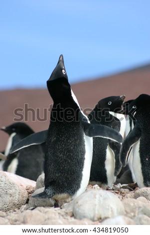 Cute Antarctic Adelie Penguin (Pygoscelis adeliae) performing a mating call in Antarctica - stock photo