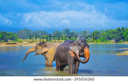 Cute Asian elephants blowing water out of his trunk in Chitwan N.P. Nepal - stock photo