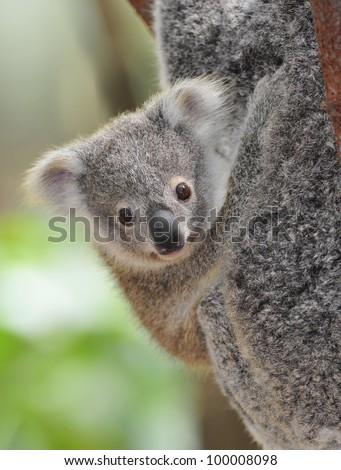 cute australian koala bear baby or joey , sydney, new south wales, australia grey bear - stock photo