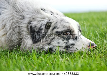 Cute australian shepherd lying on the grass and looking at you.