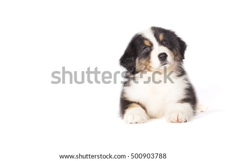 Cute Australian Shepherd puppy dog in studio