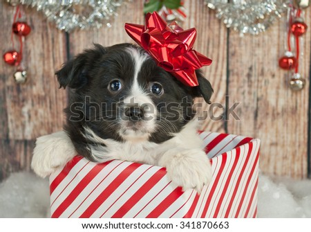 Cute Australian Shepherd puppy popping up out of a gift with a red Christmas bow on her head.