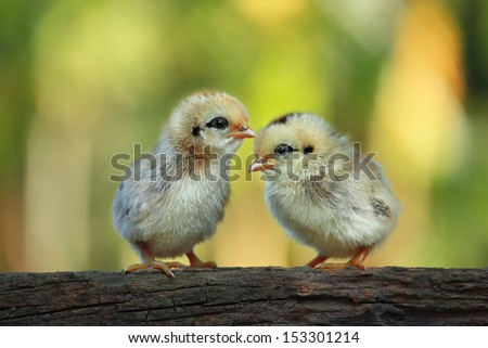 Cute babies chicks on nature background - stock photo