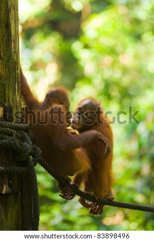 Cute baby adolescent orangutans play on a rope in the lush green jungle at the Sepilok Orangutan Rehabilitation Sanctuary in Borneo. Vertical copy space