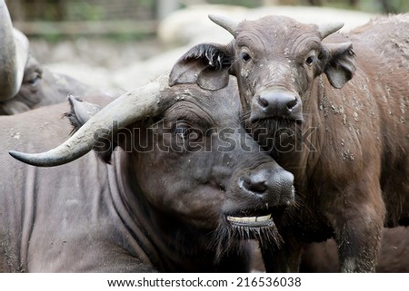 Cute baby African buffalo with it's mother frontal - stock photo