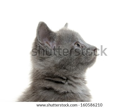 Cute baby American shorthair gray kitten on white background