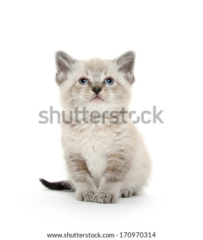 Cute baby American shorthair kitten laying down on white background