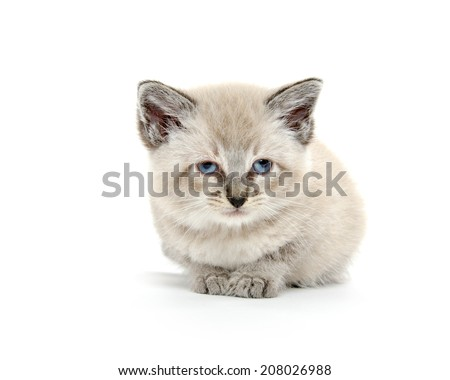 Cute baby American shorthair kitten laying down on white background - stock photo