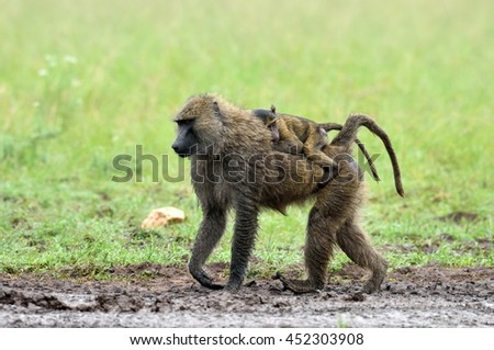 cute baby baboon on its mother's back  in african natural park - stock photo