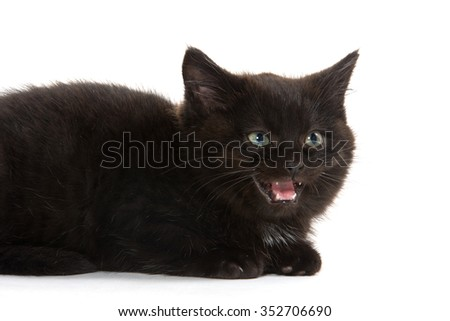 Cute baby black kitten with its mouth open crying isolated on white background